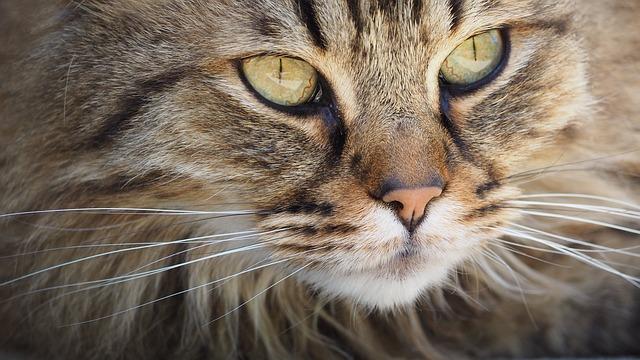 tvář kočky